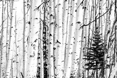 Aspen Trees and a Spruce