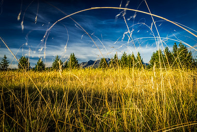 Golden Grass in Glacier National Park