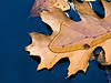 D309-2012 Partial Submission.  A floating oak leaf, resisting being wetted and eventually submerged<br /> <br /> Gazebo Pond, Toledo Botanical Garden, Ohio<br /> November 5, 2012