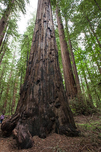 Coastal Redwoods, Redwoods National Park