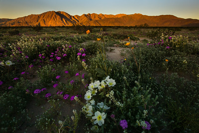 Anza Borrego State Park wild flower super bloom. March 2017.