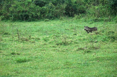 Warthog in the field.
