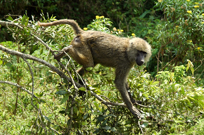 Baboon on the go!
