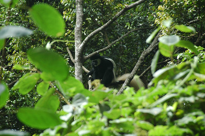 The flashy black and white colobus monkey in the trees just off the road.