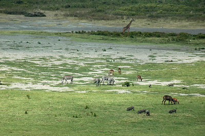 The critters roam and feed all together in a dried up lake bed.