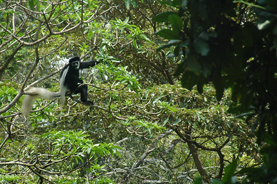 The colobus monkey shows off his tail.