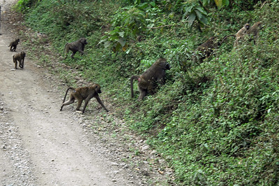Baboons in the road.