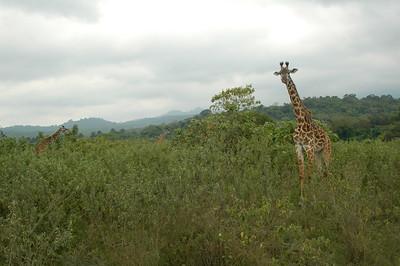 ARUSHA NATIONAL PARK, TANZANIA: Giraffe.