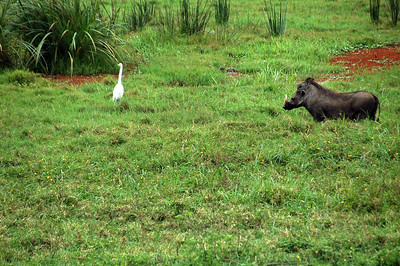 An interesting combo, an egret and warthog.