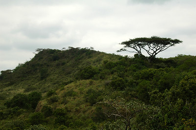 The African classic: Flat Topped Acacias.