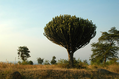 We also passed the unique candelabra tree.