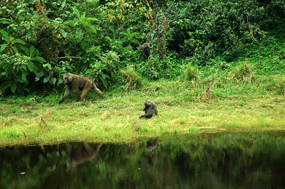 More baboons along the pond.