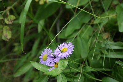 BEAVER CREEK, CO -  Aspen Grove flowers.