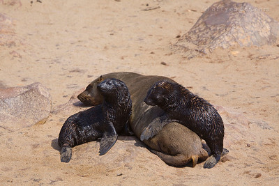 POINT CROSS SEAL RESERVE, NAMIBIA - Baby seal pups hudle up with one of the napping adult seals.