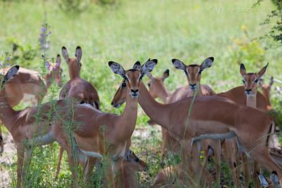 BWABWATA NATIONAL PARK, NAMIBIA - Impala