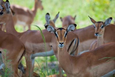 BWABWATA NP, NAMIBIA - Impala