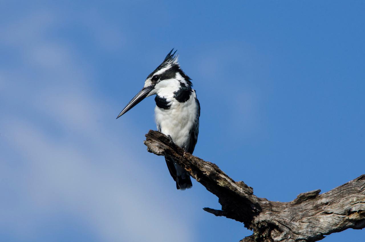 CHOBE NATIONAL PARK, BOTSWANA - Pied Kingfisher (Ceryle rudis)