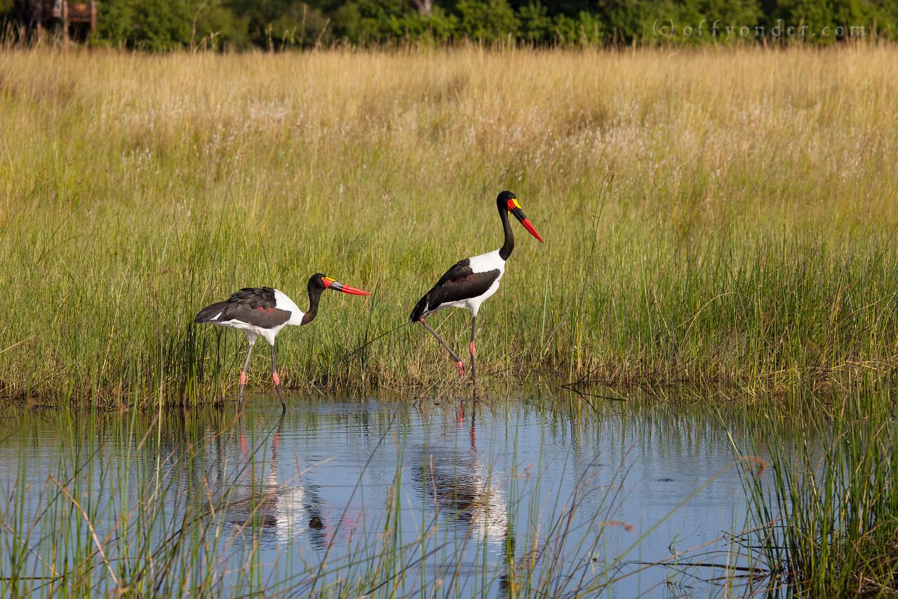 BWABWATA NATIONAL PARK, NAMIBIA - Saddle Billed Stork
