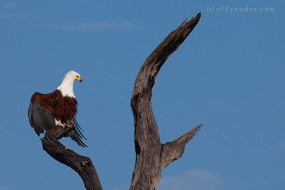BWABWATA NATIONAL PARK, NAMIBIA - Fish Eagle