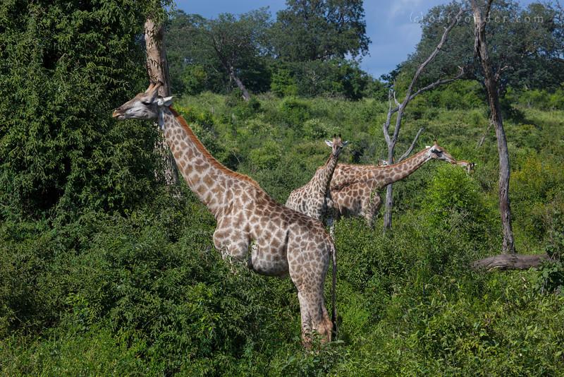 CHOBE NATIONAL PARK, BOTSWANA - Giraffe (Giraffa camelopardalis)