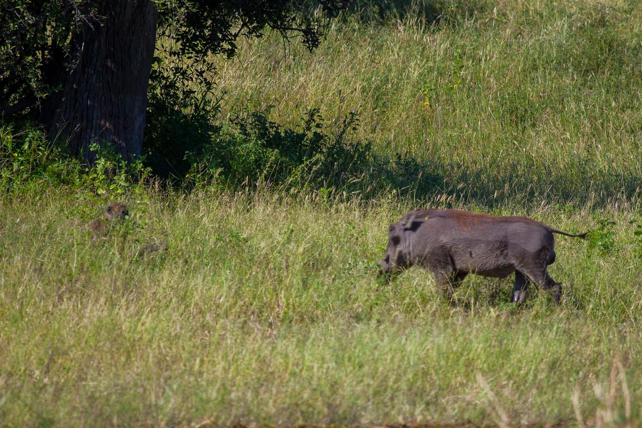 CHOBE NATIONAL PARK, BOTSWANA - Southern Warthog (Phacochoerus africanus sundevallii)
