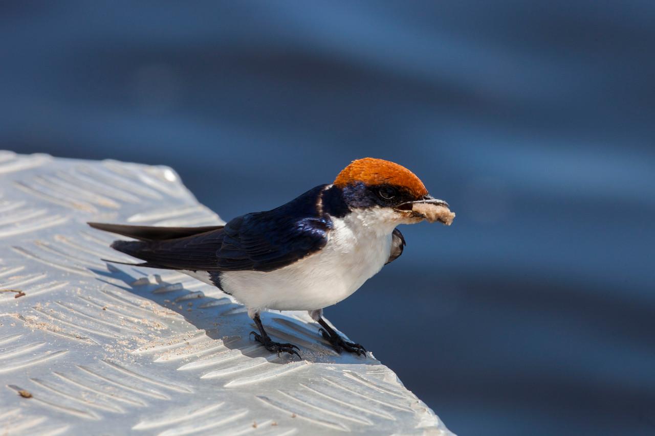 CHOBE NATIONAL PARK, BOTSWANA - Wire-tailed Swallow (Hirundo smithii)