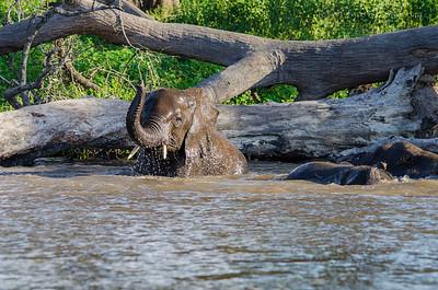 CHOBE NATIONAL PARK, BOTSWANA - Bathing adolesent elephant (Loxodonta).