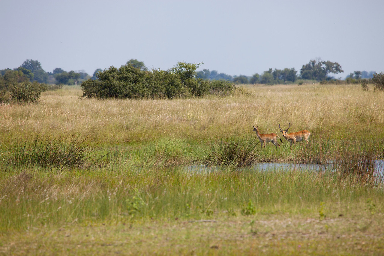 BWABWATA NATIONAL PARK, NAMIBIA - Red Lechwe.