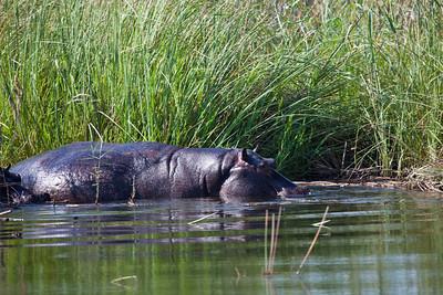 BWABWATA NP, NAMIBIA - Hippo