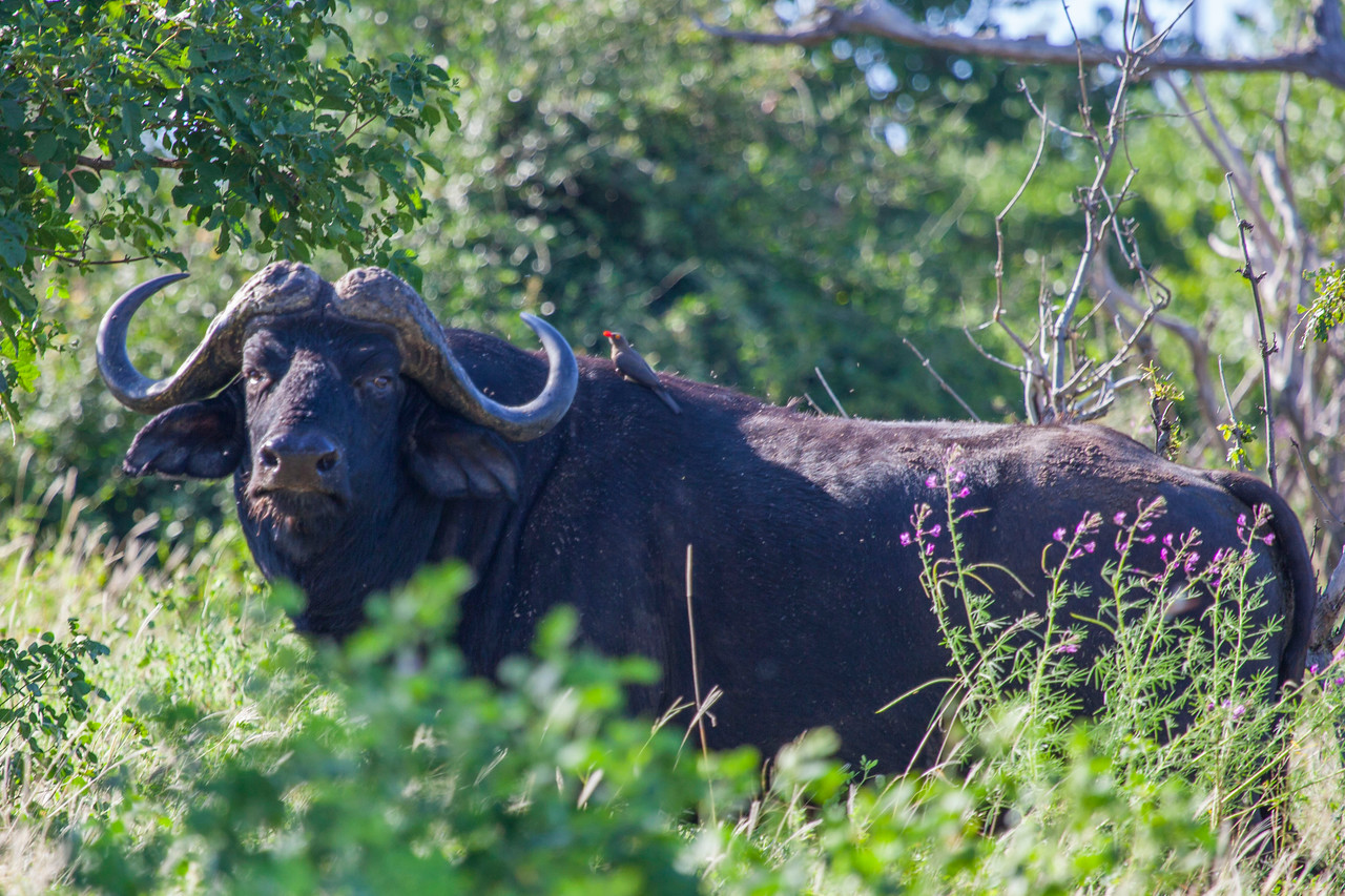 CHOBE NATIONAL PARK, BOTSWANA - African buffalo (Syncerus caffer caffer) with Yellow-billed oxpecker (Buphagus africanus)