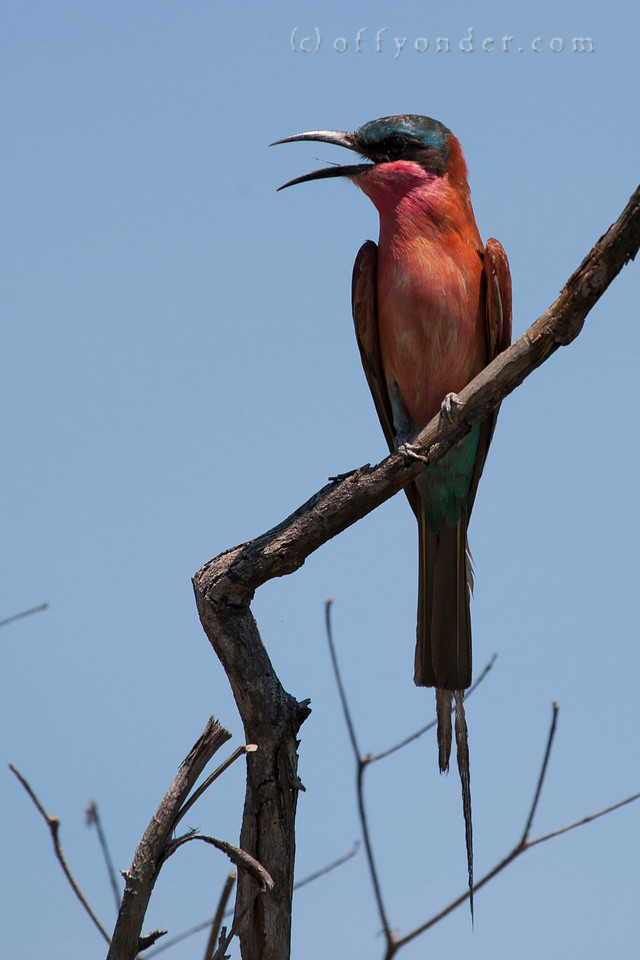 BWABWATA NATIONAL PARK, NAMIBIA - Southern Carmine Bee-eater (Merops nubicoides)