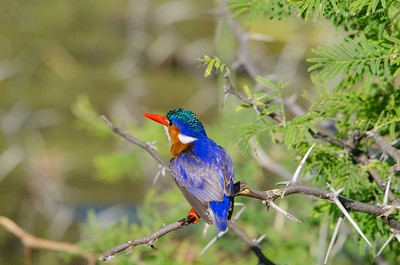 CHOBE NATIONAL PARK, BOTSWANA - Malachite Kingfisher (Alcedo cristata)