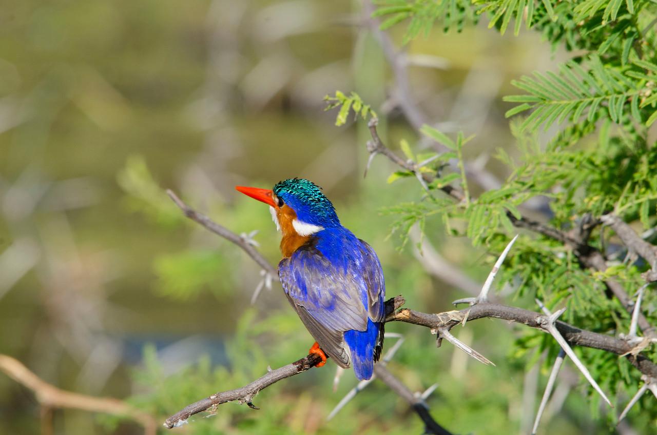 CHOBE NATIONAL PARK, BOTSWANA - Malachite Kingfisher (Alcedo cristata)