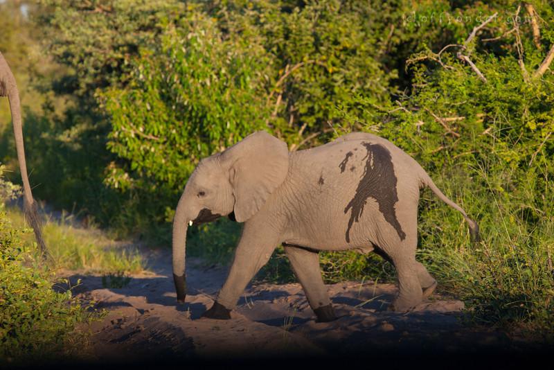 BWABWATA NATIONAL PARK, NAMIBIA - Baby elephant.