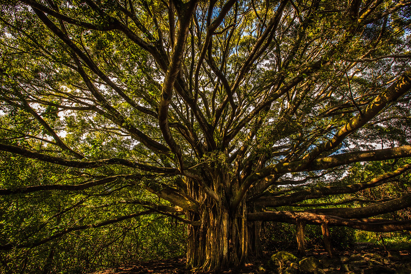Banyon Tree, Maui,Hawaii