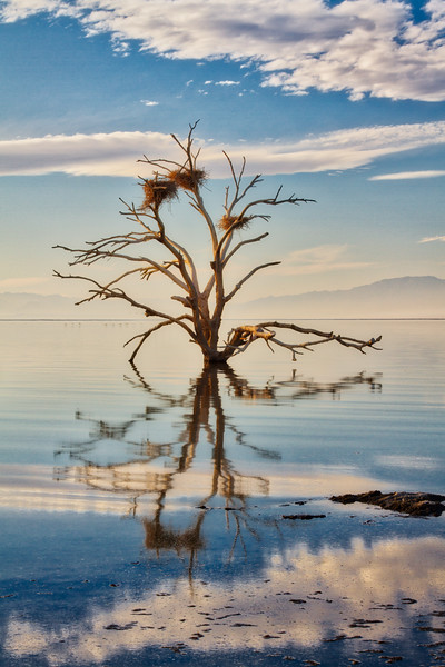 Bird nests in a dead tree on the shore of the Salton Sea. Sonny Bono National Wildlife Refuge