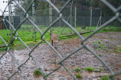 SENDA NATIVA ROMAHUE, LOS LAGOS, CHILE - A puma comes out of the shelter to walk around some in the rain.