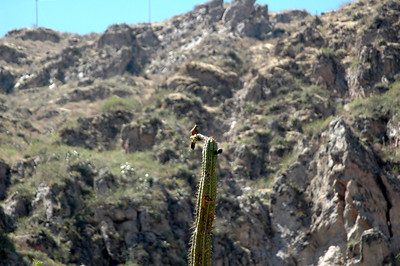 COLCA CANYON, PERU: A touch of wildlife part way down into the canyon.