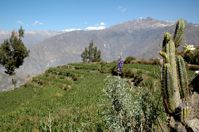 COLCA CANYON, PERU: Lupin, cacti, fields of corn and a canyon lurking beyond the fields.