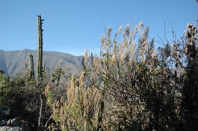 COLCA CANYON, PERU: Trailside foliage along the plateau above the canyon rim.