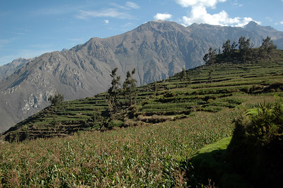COLCA CANYON, PERU: Looking back towards the rim of the canyon, once again hidden by the fields of corn.