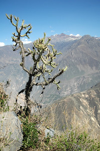 COLCA CANYON, PERU: Canyon rim cactus.