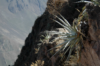 COLCA CANYON, PERU: Agave sprouting from the canyon wall.