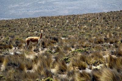 CHACHANI, PERU: The only wildlife of the trip a heard of guanaco (Lama guanicoe) as we cross the 4,000m mark.
