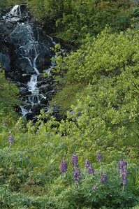 Lupine flowers and stream.