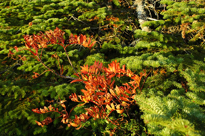 A lonely little stand of Mountain Ash, blushing red among the green Balsam Fir on Gray Knob Trail.