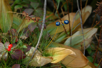Some last surviving Bunchberry (red) and Clintonia (blue).