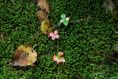 Moss and Bunchberry (Cornus canadensis) plants poking through.