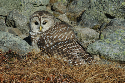 A bard owl came jumping out of the rocks below me as I worked my way down to Edmons Col. He kept a close eye on me while sitting inthe sun.