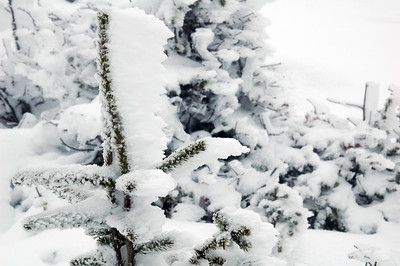 A few inches of rime plastered on the windward side of this frozen balsum fir.